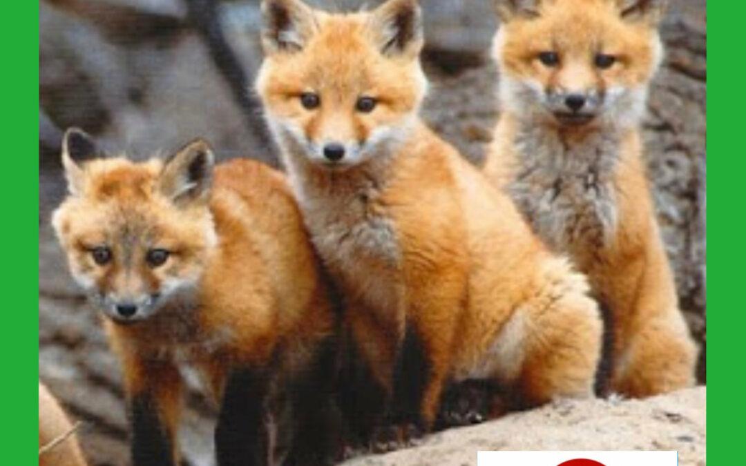Lov lišky by měl být omezen.